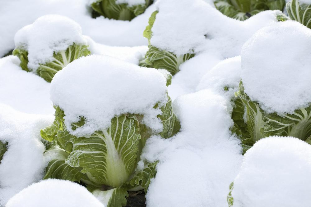 blettes-hiver